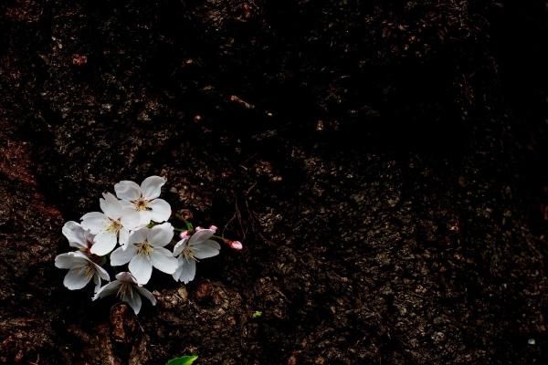 [写真]桜(天神中央公園)